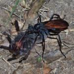 Tarantula Hawk with Tarantula, Rio Cocospera - J. Rorabaugh