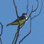 Thick-billed kingbird, Rio Cocospera - J. Rorabaugh