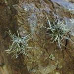 Tillandsia recurvata, Rio Cocospera - J. Rorabaugh