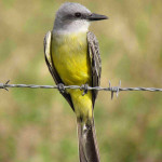Tropical kingbird - J. Rorabaugh