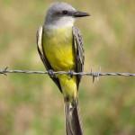 Tropical kingbird - J. Rorabaugh