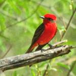 Vermillion flycatcher, Rancho el Aribabi - J. Rorabaugh