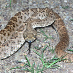 Western Diamond-backed Rattlesnake, Rancho Ariabi, Son - J. Rorabaugh