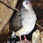 White-tipped dove - J. Rorabaugh