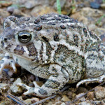 Woodhouse's toad, Rancho El Aribabi - J. Rorabaugh