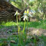 Yerba mansa, Rancho Aribabi cienega - J. Rorabaugh
