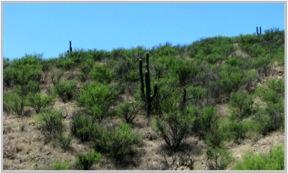 Figura 69. Majestuosos sahuaros (Carnegiea gigantea) en el matorral xerófilo del Rancho El Aribabi, Sonora.