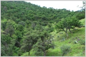 Figure 70. Oak in Las Palomas de el Aribabi El Rancho Brook forest.