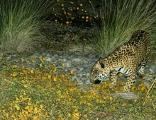 Jaguar at El Aribabi. Remote photo taken 3 November 2010. ©2010 Sky island Alliance / El Aribabi.