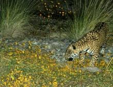 Jaguar at El Aribabi. Remote photo taken 3 November 2010. ©2010 Sky island Alliance / El Aribabi.