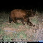 Black bear (C) 2010 Sky Island Alliance/El Aribabi