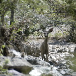 Coues deer at Rancho El Aribabi - Sky Jacobs