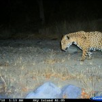 Jaguar photo taken with trail camera (C)2010 Sky Island Alliance / El Aribabi