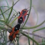 Lesser Milkweed Bug, Lygaeus kalmil Hemiptera Lygaeidae - Sky Jacobs