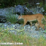 Mountain Lion with kitten at Rancho el Aribabi Taken with trail camera