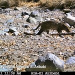 Ocelot mother (C) 2011 Sky Island Alliance/ El Aribabi taken at Rancho El Aribabi by a trail camera