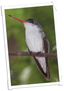 Rorabaugh Vermillion Flycatcher article 4