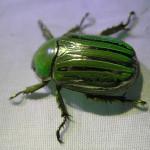 Chrysina gloriosa Silver striped scarab, Coleoptera Scarabaeidae - Sky Jacobs