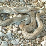 Neotropical whipsnake at Rancho el Aribabi - S. Avila