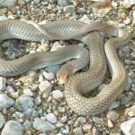 Neotropical whipsnake at Rancho el Aribabi - S. Avila