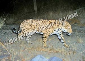 jaguarAtRisk