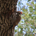 Arizona Woodpecker at Rancho El Aribabi
