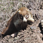 Coati at Rancho El Aribabi April 2014 - Photo Jim Rorabaugh