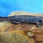 Tarahumara Salamander - Carlos R. Elias