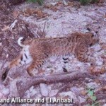 Bobcat at Rancho El Aribabi - Carlos R. Elias