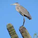 Great Blue Heron on Saguaro - Jim Rorabaugh