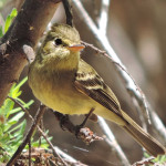 Pacific Slope Flycatcher, Rancho El Aribabi - Jim Rorabaugh