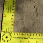 Coati track - Rancho El Aribabi