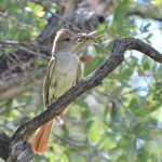 Ash-throated Flycatcher with grasshopper