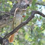 Ash-throated Flycatcher with grasshopper Sierra Azul - J. Rorabaugh