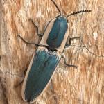 Click Beetle, Chalcolepidius sp - Rancho El Aribabi - J. Rorabaugh