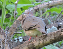 White-tipped Dove - Rio Cocospera - J. Rorabaugh