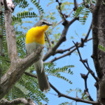 Yellow-breasted Chat - Rio Cocospera - J. Rorabaugh