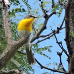 Yellow-breasted Chat - Rio Cocospera - J. Rorabaugh