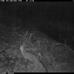 Gray Fox Represso Abajo