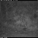 Sonoran Opossum, Canon Coralillo