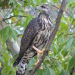 Black Hawk (juv), Las Palomas, R El Aribabi E5 - J. Rorabaugh