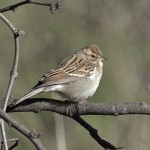 Chipping Sparrow, Rancho El Aribabi, Son E8 - J. Rorabaugh