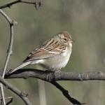Chipping Sparrow, Rancho El Aribabi, Son E8 - J. Rorabaugh