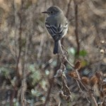 Gray Flycatcher2, Rancho El Aribabi, Son E7 - J. Rorabaugh