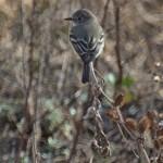 Gray Flycatcher2, Rancho El Aribabi, Son E7 - J. Rorabaugh