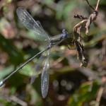 Great spreadwing (Archilestes grandis) El Aribabi - C. Rohrer