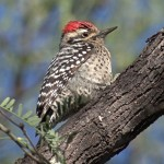 Ladder-backed Woodpecker2, Rancho El Aribabi, Son E7 - J. Rorabaugh