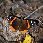 Red  Admiral - D. Goehring
