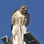 Red-tailed Hawk, Rancho El Aribabi, Son E8 - J. Rorabaugh