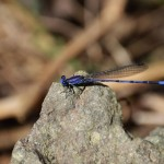 Spine -tipped dancer (Argia extranea) El Aribabi - D. Goehring